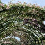 【横浜イングリッシュガーデン】日本一美しいバラ園!?2021年5月14日の開花状況!